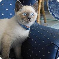Adopt A Pet :: Sunti - Davis, CA