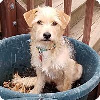 Adopt A Pet :: Sadie - Potomac, MD