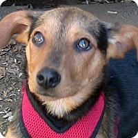 Adopt A Pet :: Hazel(nut() - Poway, CA