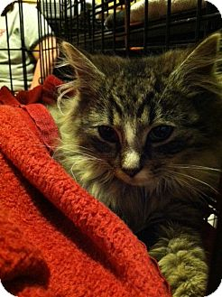 Norwegian Forest Cat Cat for adoption in Pittstown, New Jersey - Amolia