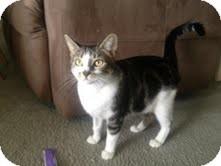 Domestic Shorthair Cat for adoption in Modesto, California - Monster
