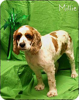 Cocker Spaniel Dog for adoption in Ogden, Utah - Milly