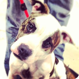 American Pit Bull Terrier Mix Dog for adoption in Rockaway, New Jersey - Dotty