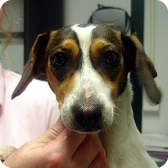 Dachshund/Beagle Mix Dog for adoption in Greencastle, North Carolina - Mork