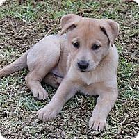 Adopt A Pet :: Gemma - La Habra Heights, CA