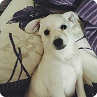 Adopt A Pet :: Marshmallow - Los Angeles, CA
