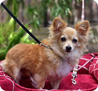 Pomeranian/Chihuahua Mix Dog for adoption in Santa Monica, California - Dahlia