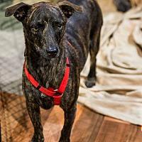 Adopt A Pet :: Dingo - Henderson, NV