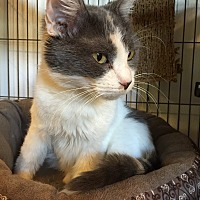 Calico Cat for adoption in Hanna City, Illinois - Dollie