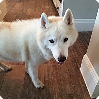 Siberian Husky Dog for adoption in Sugar Land, Texas - Stormie