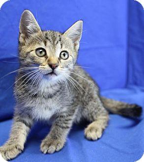 Domestic Shorthair Kitten for adoption in Winston-Salem, North Carolina - Newton