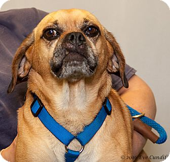 Pug/Beagle Mix Dog for adoption in Martinsville, Indiana - Dude