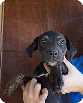 Rottweiler/Labrador Retriever Mix Puppy for adoption in Oviedo, Florida - Cutie