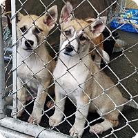 Adopt A Pet :: KODA AND KONA (MASKED) - Gustine, CA