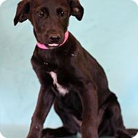 Adopt A Pet :: Midnight Oil - Waldorf, MD