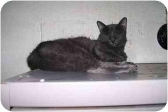 Russian Blue Cat for adoption in Scottsdale, Arizona - Serena