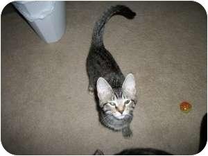 Domestic Shorthair Cat for adoption in Henderson, Kentucky - Beth