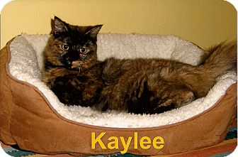 Domestic Mediumhair Cat for adoption in Medway, Massachusetts - Kaylee