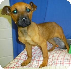 Bulldog/Terrier (Unknown Type, Medium) Mix Puppy for adoption in Lincolnton, North Carolina - Harlow