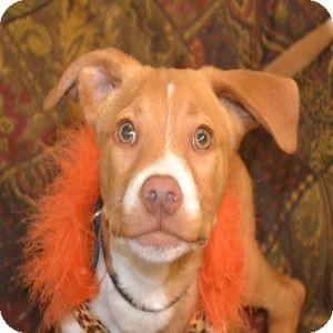 Labrador Retriever/American Pit Bull Terrier Mix Puppy for adoption in Gilbert, Arizona - Rosco