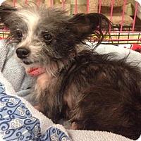 Adopt A Pet :: Little Bit - Gainesville, FL