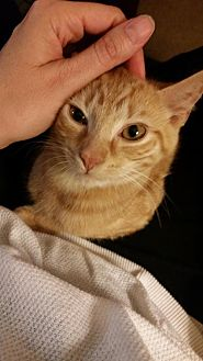 Domestic Shorthair Cat for adoption in Newtown Square, Pennsylvania - Lemon Whiskers