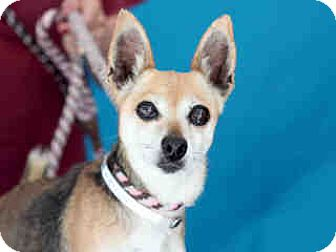 Chihuahua Mix Dog for adoption in San Marcos, California - Money Penny