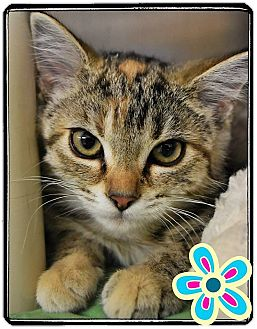 Domestic Shorthair Kitten for adoption in Seville, Ohio - Tiger Lilly