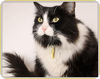 Domestic Longhair Cat for adoption in Glendale, Arizona - Phoebe