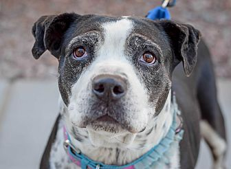 American Bulldog/American Pit Bull Terrier Mix Dog for adoption in Gilbert, Arizona - Grandma