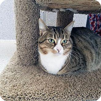 Domestic Shorthair Cat for adoption in Mountain Center, California - Mirasou