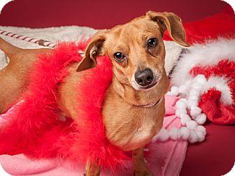 Dachshund Mix Dog for adoption in Dallas, Texas - Whiskey