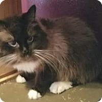 Adopt A Pet :: Sami - purebred Siberian - Ennis, TX