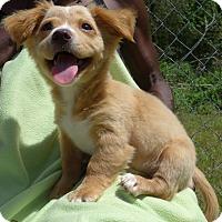 Adopt A Pet :: Simba - Manning, SC
