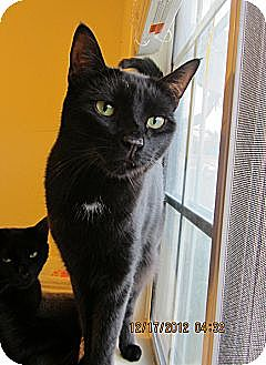 Domestic Shorthair Cat for adoption in Long Beach, California - Maya