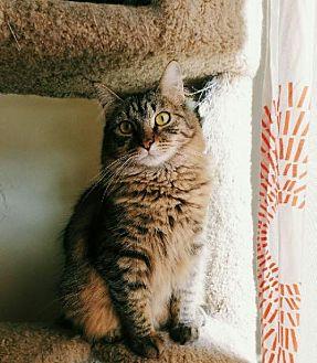 Domestic Longhair Cat for adoption in Los Angeles, California - Selene