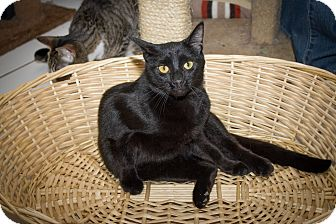 Domestic Shorthair Cat for adoption in Chicago, Illinois - Midnight