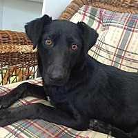 Labrador Retriever/Terrier (Unknown Type, Medium) Mix Dog for adoption in Swanzey, New Hampshire - Houdini