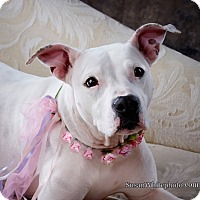Adopt A Pet :: SHELBY - Boston, MA
