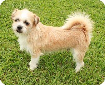 Shih Tzu/Chihuahua Mix Puppy for adoption in Brattleboro, Vermont - Wheaton