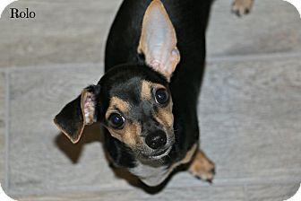 Dachshund/Chihuahua Mix Puppy for adoption in Phoenix, Arizona - Rolo