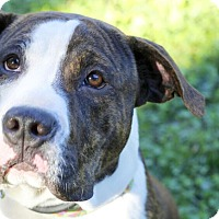Adopt A Pet :: Lance - Reisterstown, MD