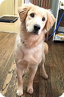Golden Retriever Mix Dog for adoption in BIRMINGHAM, Alabama - Veesey