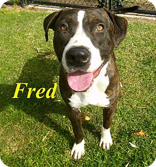 Pit Bull Terrier Mix Dog for adoption in El Cajon, California - Fred