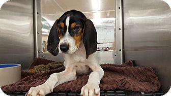 Coonhound (Unknown Type)/Beagle Mix Dog for adoption in Frankfort, Illinois - Ali