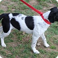 Adopt A Pet :: Bella - Colonial Heights, VA
