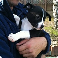 Adopt A Pet :: Pearl (One of Molly's Pups) - Sacramento, CA