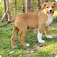 Collie/Labrador Retriever Mix Dog for adoption in Melbourne, Arkansas - Bucky Brown