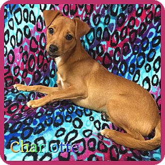 Chihuahua Mix Dog for adoption in Hollywood, Florida - Charlotte
