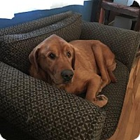 Adopt A Pet :: Ziggy - Northfield, MN